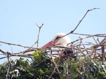 Cegonha-branca