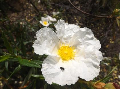Flor da esteva