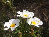 Flor da esteva.