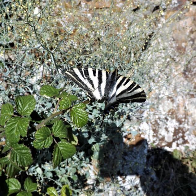 "Borboleta Zebra ""Iphiclides feisthamelli"""