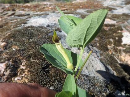 Aristolochia paucinervis a sua flor faz lembrar certas planas carnívoras.