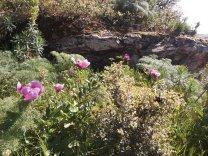 "Rosa albardeira ""Paeonia broteri"""