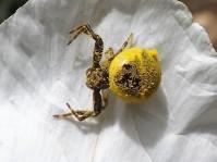 A aranha está coberta de pólen que quase lhe tapa a mancha caracteristica.