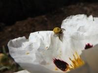 Quando se sentiu detectada esta tentou fugir para a parte debaixo da flor.