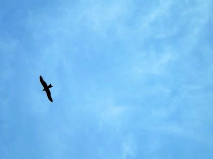 A silhueta de um milhafre-preto (Milvus migrans)