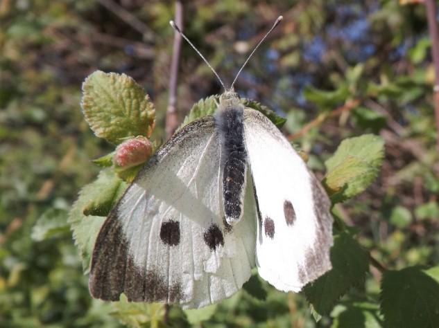 """Fêmea da borboleta branca da couve """"Pieris brassicae"""""""