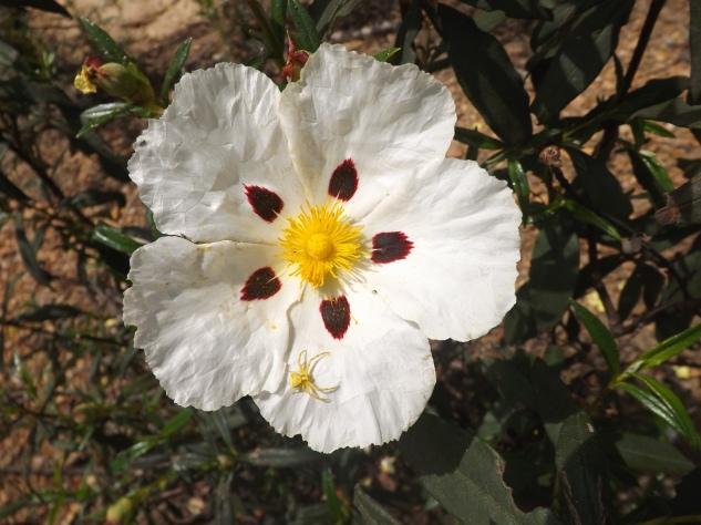 Esta estava bem no centro da flor de esteva, um bom esconderijo não?