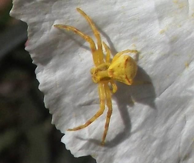 aranha-das-urzes de cor amarelo limão