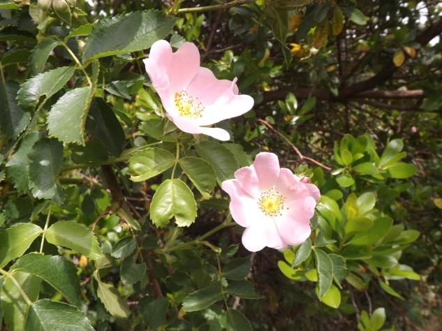 "A roseira brava ""rosa pouzinii"""