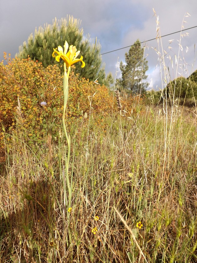 lírio-amarelo-dos-montes