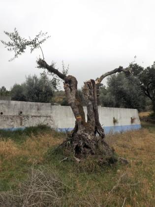Uma velha oliveira