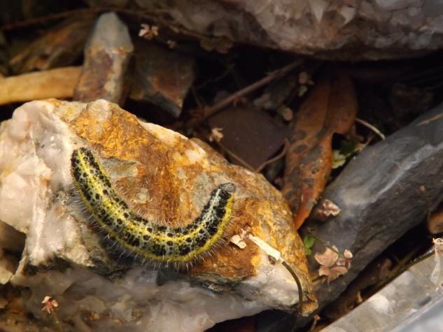 "Lagarta da borboleta branca da couve ""Pieris brassicae"""
