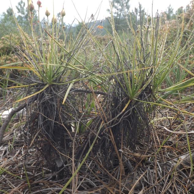 À medida que as folhas vão secando, vão ficando presas ao tronco e a planta vai crescendo em altura, com a idade a planta vai acabar por ramificar ganhando o aspecto de um pequeno arbusto.