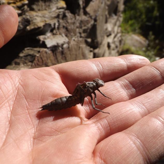 Exúvia ou larva.