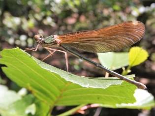 """Gaiteiro azul """"Calopteryx virgo"""" Fêmea."""