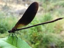 "Gaiteiro negro ""Calopteryx haemorrhoidalis"" Macho."