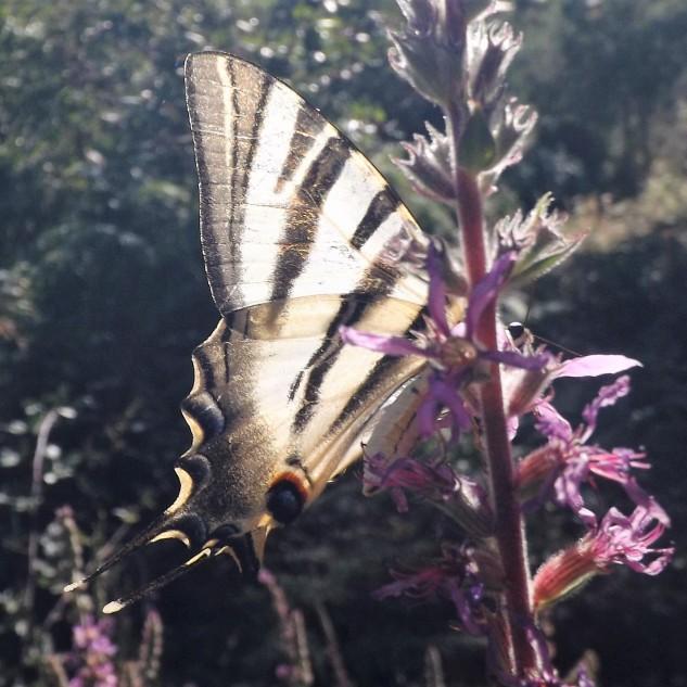 Borboleta-zebra Iphiclides feisthamelli
