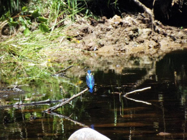 Guarda-rios Alcedo atthis
