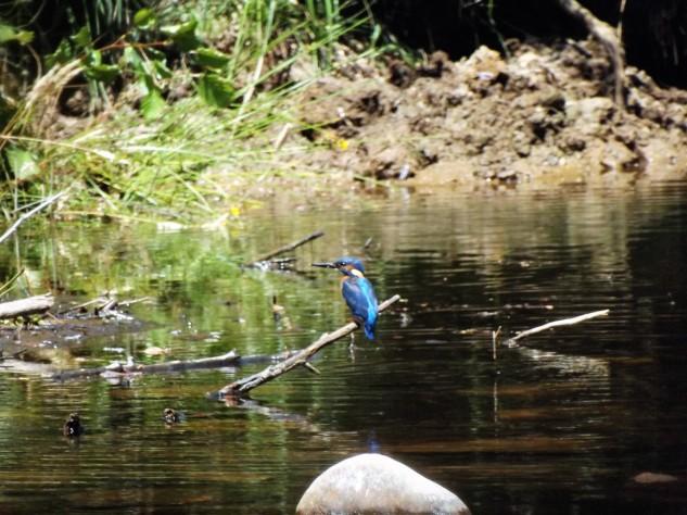 O guarda-rios um ícone dos nossos meios rípiculas.