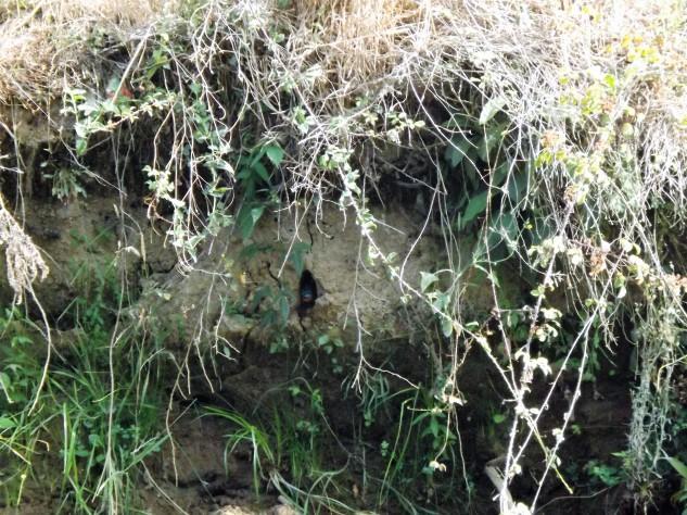 Guarda-rios a sair do ninho situado num pequeno talude.
