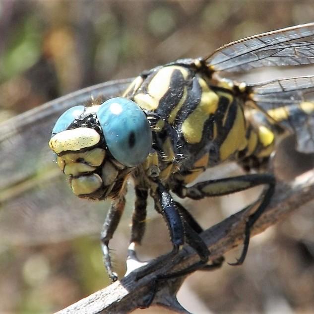 Gonfus das nascentes Onychogomphus uncatus, neste caso um macho.