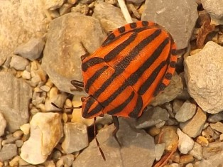 Percevejo Graphosoma lineatum