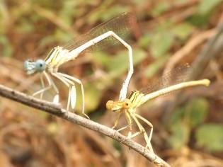 Libelinhas Platycnemis latipes