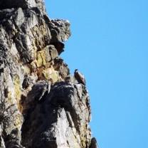O grifo distribui-se por toda a região mediterrânea, portanto uma espécie também nativa de Portugal.