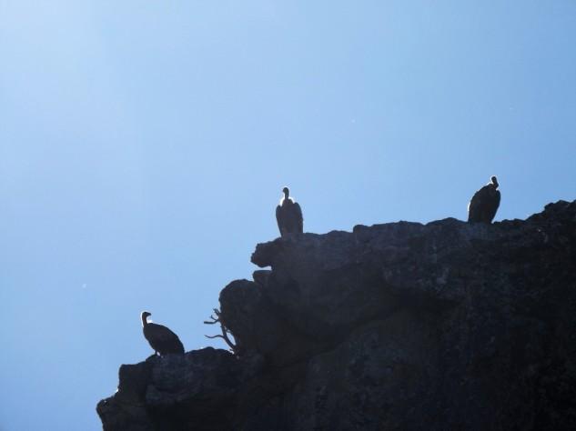 Pela manhã aguardam pelas correntes de ar quente favoráveis ao seu voo planado.