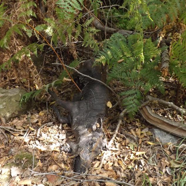 Enquanto fazia aquele percurso encontrei muitos animais mortos, alguns nem dava para entender o que seriam, este javali conseguiu chegar à ribeira mas não foi o suficiente.
