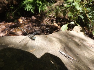 Uma libélula o Gonfus das nascentes (Onychogomphus uncatus)