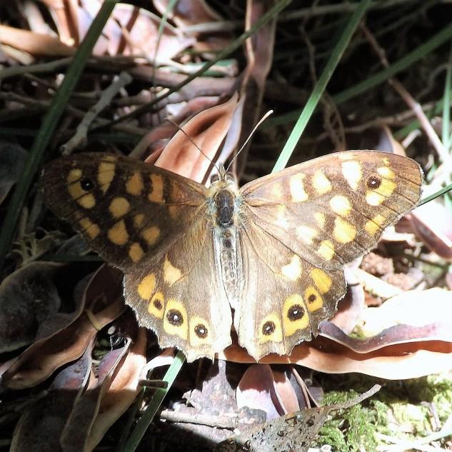 A Malhadinha (Pararge aegeria) é uma espécie muito frequentemente em Portugal principalmente em zonas arborizadas evitando descampados.