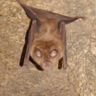 Uma pequena surpresa no seu interior, um morcego de ferradura. Desculpem a qualidade da fotografia não ser a melhor.