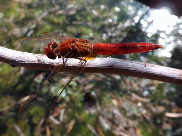 Uma libélula vermelha acaba de pousar num ramo, trata-se de uma Crocothemis erythraea.