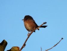 Um macho de toutinegra do mato, a fêmea tem cores mais baças.