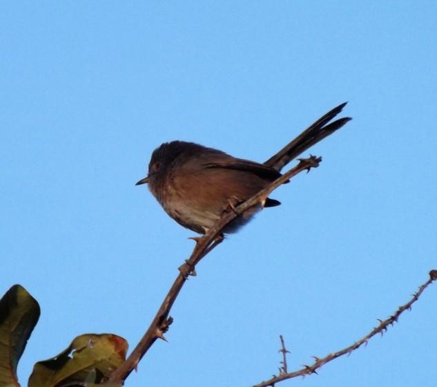 A toutinegra do mato é uma pequena ave insectívora.