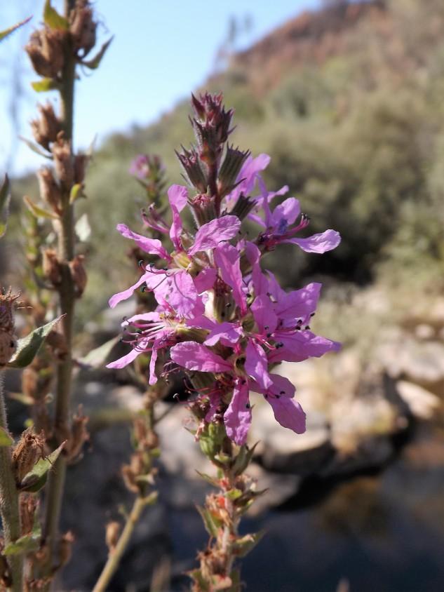 """A salgueirinha """"Lythrum salicaria"""", é uma planta autóctone e muito comum em zonas ribeirinhas, charcos, lagoas e outras zonas húmidas."""