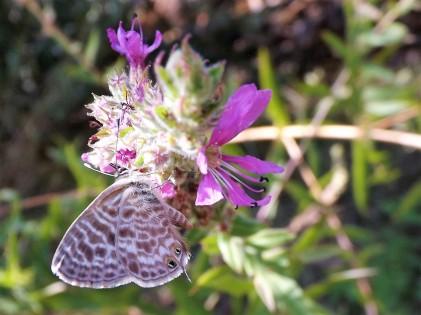 Atraída pelas flores da salgueirinha uma borboleta vai-se alimentando.