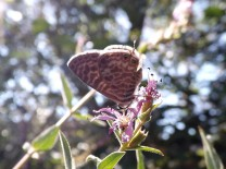 Trata-se de uma Leptotes pirithous, uma espécie de borboleta muito comum de norte a sul do país.
