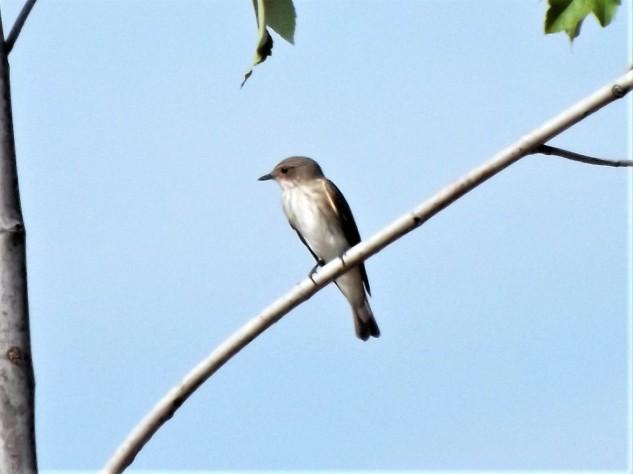 """No alto de uma árvore um papa-moscas-cinzento """"Muscicapa striata"""" está à espreita. Esta pequena ave apenas é avistada por cá quando em migração."""