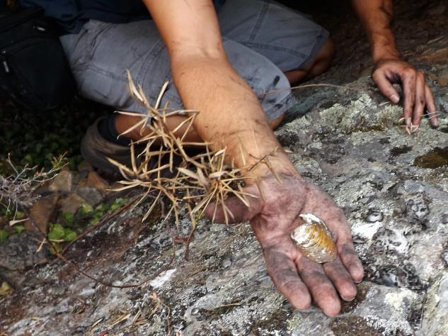 """Numa pequena caverna encontro esta casca de bivalve, tratasse que um """"anodonte""""."""