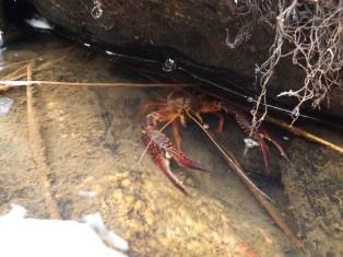 """Belo exemplar de Lagostim-vermelho-do-louisiana """"Procambarus clarkii""""."""
