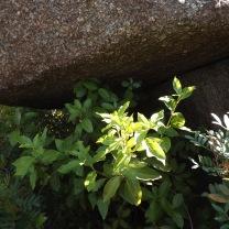 O folhado viburnum tinus é frequentemente usado como planta ornamental, na natureza vai resistindo em alguns vales menos utilizados pelo homem.