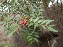 """Aqui as bagas de outra pequena árvore nativa de Portugal, a aroeira """"Pistacia lentiscus""""."""
