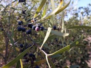 "Lentisco bastardo "" Phillyrea angustifolia""."
