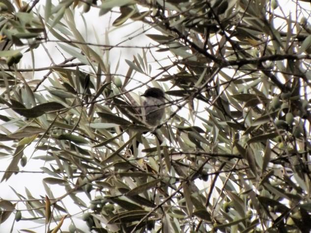"""Uma toutinegra-de-cabeça-preta """"Sylvia melanocephala"""" é um pássaro muito pequeno do género Sylvia dentro da família sylviidae."""