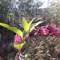 """Tintureira """"Phytolacca americana"""", uma espécie oriunda da América do Norte que foi trazida para fins medicinais e para a tinturaria, hoje em dia aqui é só mais uma planta invasora."""