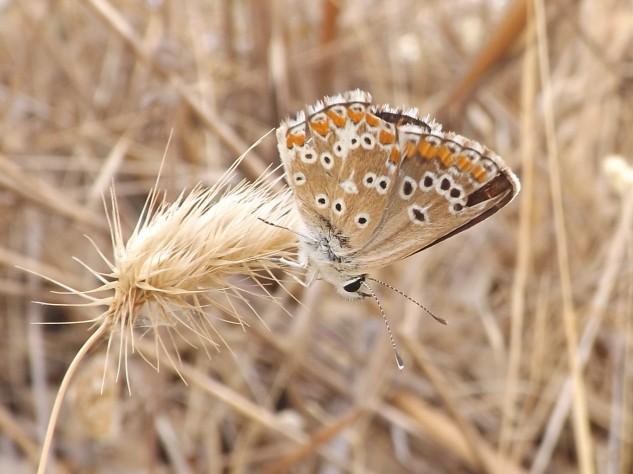 """Aparentemente esta espécie não tem nome comum, pelo que a conheço apenas pelo seu nome cientifico """"Aricia cramera""""."""