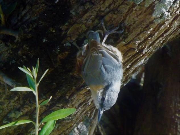 """A trepadeira-azul """"Sitta europaea"""" tem uma característica muito importante, pois é a única ave na Europa a conseguir descer de cabeça para baixo. Nesta zona tenho observado uma parente bem mais vulgar, a trepadeira-comum que desta vez não encontrei."""