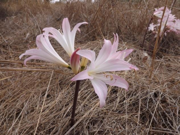 Apesar de bonita heis uma espécie a eliminar da paisagem. Amaryllis belladonna L, ou Falsa-beladona, tóxica e exótica. Nativa do Cabo Ocidental, África do Sul.